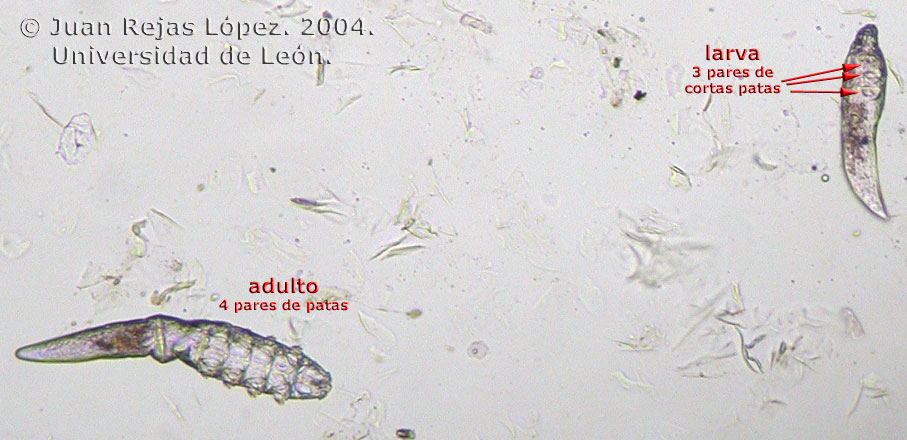 Sarna Demodex-Demodex Canis